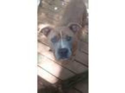 Adopt Brutus (Brute) a Tan/Yellow/Fawn - with White American Pit Bull Terrier /