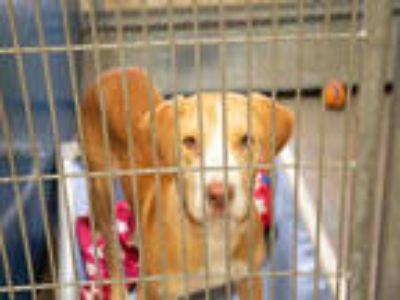 Adopt NEWPORT a Brown/Chocolate - with White Labrador Retriever / Mixed dog in