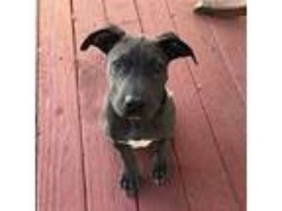Adopt Hao Hao a Black Shar Pei / Bull Terrier dog in Pittsburg, CA (25871294)