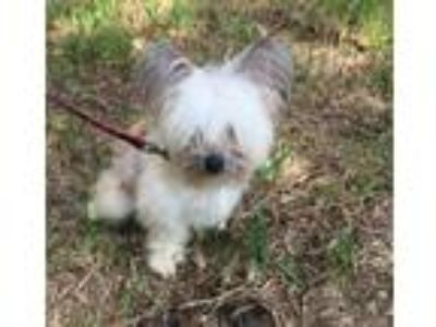Adopt Mimi a Chinese Crested Dog