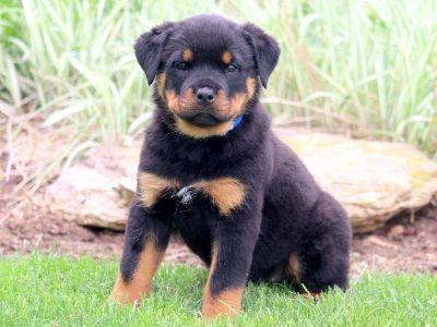 Rottweiler PUPPY FOR SALE ADN-79226 - Rottweiler Puppy for Sale