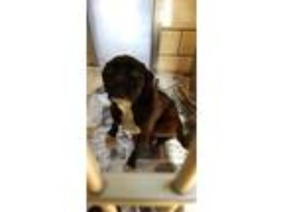 Adopt Ali a Boxer / Mixed dog in Homer Glen, IL (25304370)