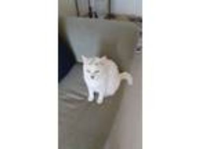 Adopt Playful Pepper a White (Mostly) Domestic Shorthair / Mixed cat in