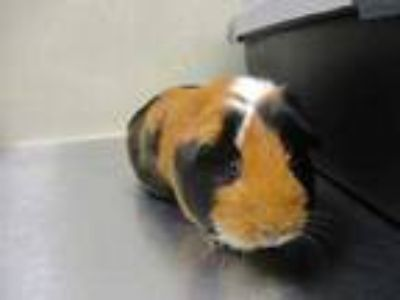 Adopt Toddy w/ Billie a Red Guinea Pig / Guinea Pig / Mixed small animal in