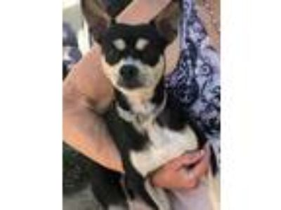 Adopt Frankie a Black Jack Russell Terrier / Rat Terrier / Mixed dog in