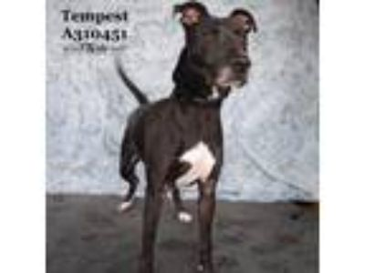 Adopt TEMPEST a Black Labrador Retriever / Mixed dog in Conroe, TX (23948045)