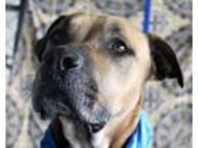 Adopt Bell a Boxer, Black Mouth Cur