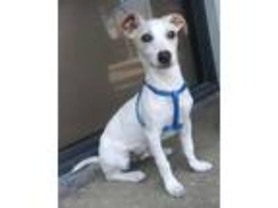 Adopt Bruiser a White - with Tan, Yellow or Fawn Jack Russell Terrier /