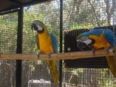 Talking Parrots for Adoptions