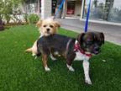 Adopt Newton a Terrier