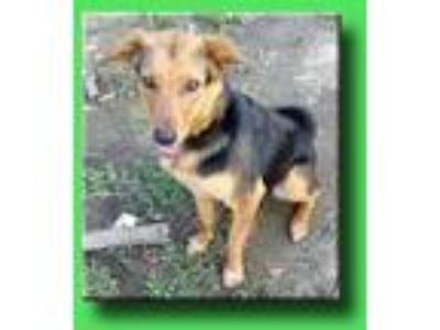 Adopt Betsy a Black - with Tan, Yellow or Fawn German Shepherd Dog / Mixed dog