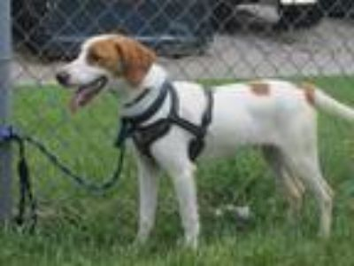Adopt Fred - OWNER SURRENDER a Hound