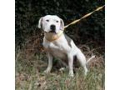 Adopt Fergie a White - with Black Pit Bull Terrier / Mixed dog in Oakland