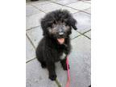 Adopt Squiggly a Black Australian Shepherd / Poodle (Standard) dog in Manhattan
