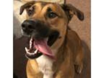 Adopt Max a Brown/Chocolate - with White Beagle / Labrador Retriever / Mixed dog