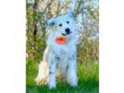Adopt Cashmere D4665 a Great Pyrenees