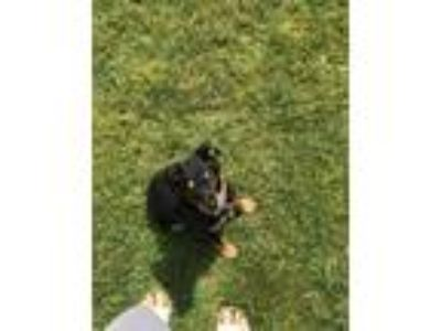 Adopt Luna a Black - with Tan, Yellow or Fawn Australian Kelpie dog in