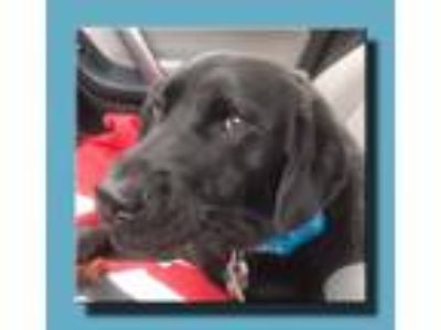 Adopt Shadow Knight a Black Border Collie / Labrador Retriever / Mixed dog in
