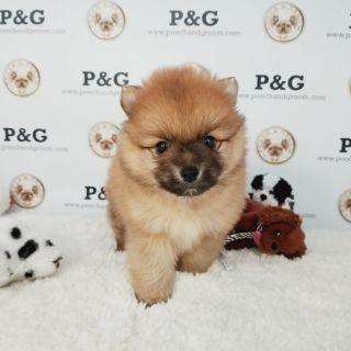 Pomeranian PUPPY FOR SALE ADN-108386 - POMERANIAN KEN MALE