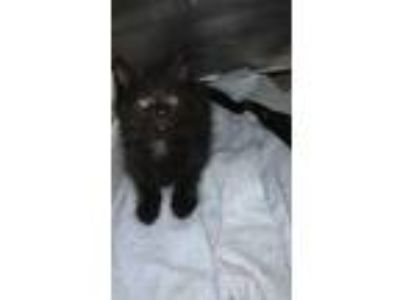 Adopt Moby a All Black Domestic Longhair / Domestic Shorthair / Mixed cat in