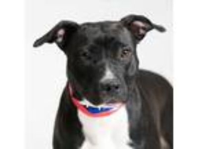 Adopt Montana a Black American Pit Bull Terrier / Mixed dog in Milwaukee