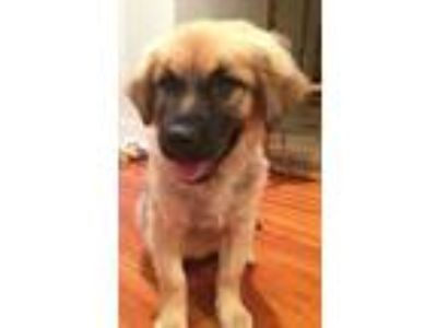 Adopt Patches a Golden Retriever, Shepherd