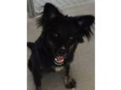 Adopt Shiloh a Black - with Tan, Yellow or Fawn Border Collie / Australian