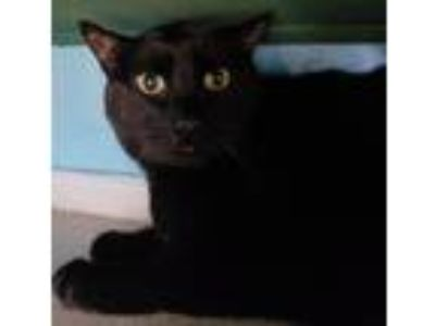 Adopt Jedi a Domestic Short Hair