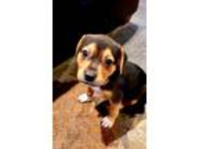 Adopt Chassis - Chino Hills a Brown/Chocolate - with Black Beagle / American