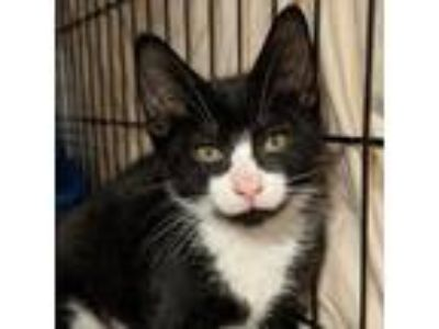 Adopt Salem a All Black Domestic Shorthair cat in New York City, NY (25860254)