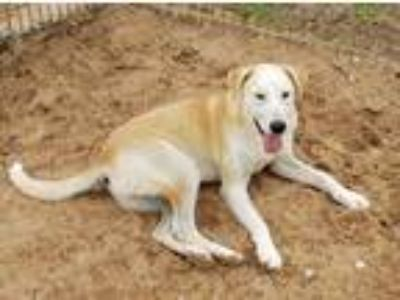 Adopt Charles a Tan/Yellow/Fawn - with White Labrador Retriever / Cattle Dog /