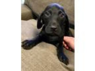 Adopt Dudley a Beagle, Chocolate Labrador Retriever