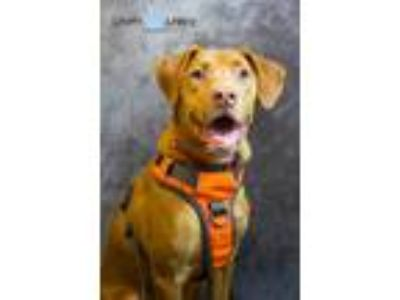Adopt Molly a Red/Golden/Orange/Chestnut Vizsla / Mixed dog in Staten Island