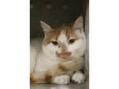 Adopt Gilbert a White Domestic Shorthair / Domestic Shorthair / Mixed cat in