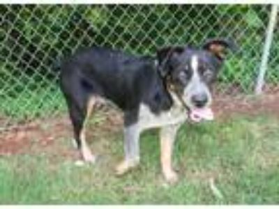 Adopt Marshall a Merle Australian Cattle Dog / Australian Shepherd / Mixed dog
