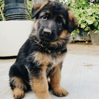 german shepard puppies for new homes