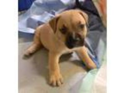 Adopt Yara a Tan/Yellow/Fawn Boxer dog in Savannah, GA (25597400)