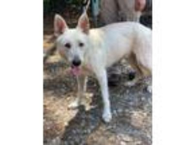 Adopt Jack a German Shepherd Dog, Mixed Breed