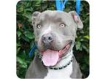 Adopt Dallas a Pit Bull Terrier, American Staffordshire Terrier