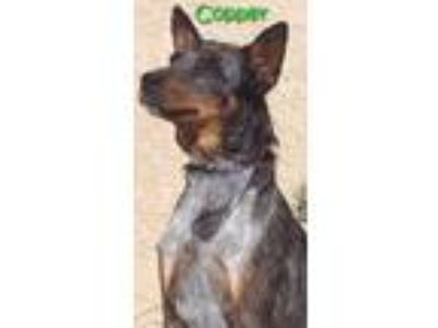 Adopt COPPER a Brindle Blue Heeler / Mixed dog in San Pedro, CA (18063032)