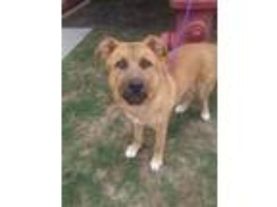 Adopt Bugsy a Brown/Chocolate German Shepherd Dog / Mixed dog in Cedar Hill