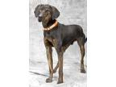 Adopt Luke a Black Plott Hound / Mixed dog in Cashiers, NC (18963417)