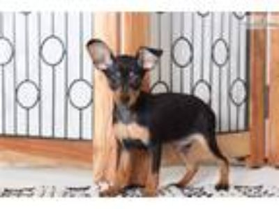 Stella Female AKC Miniature Pinscher