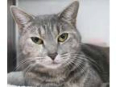 Adopt Pam a Gray or Blue Domestic Shorthair / Domestic Shorthair / Mixed cat in