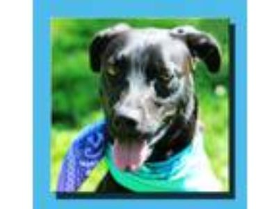 Adopt Spunky a Black Labrador Retriever / Catahoula Leopard Dog / Mixed dog in