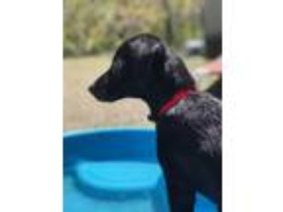 Adopt Lacey a Black Retriever (Unknown Type) / Terrier (Unknown Type