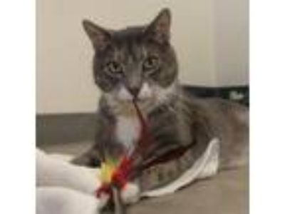 Adopt Matthew a Gray or Blue Domestic Shorthair / Domestic Shorthair / Mixed cat