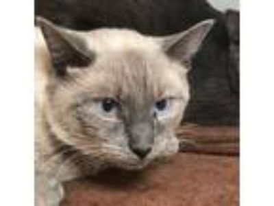 Adopt Anthony a Siamese
