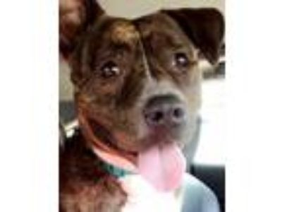 Adopt Laila a Brindle Bull Terrier / Bluetick Coonhound / Mixed dog in Long