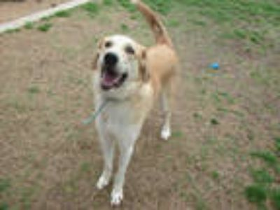 Adopt SAVANNAH a Tan/Yellow/Fawn - with White Great Pyrenees / Mixed dog in